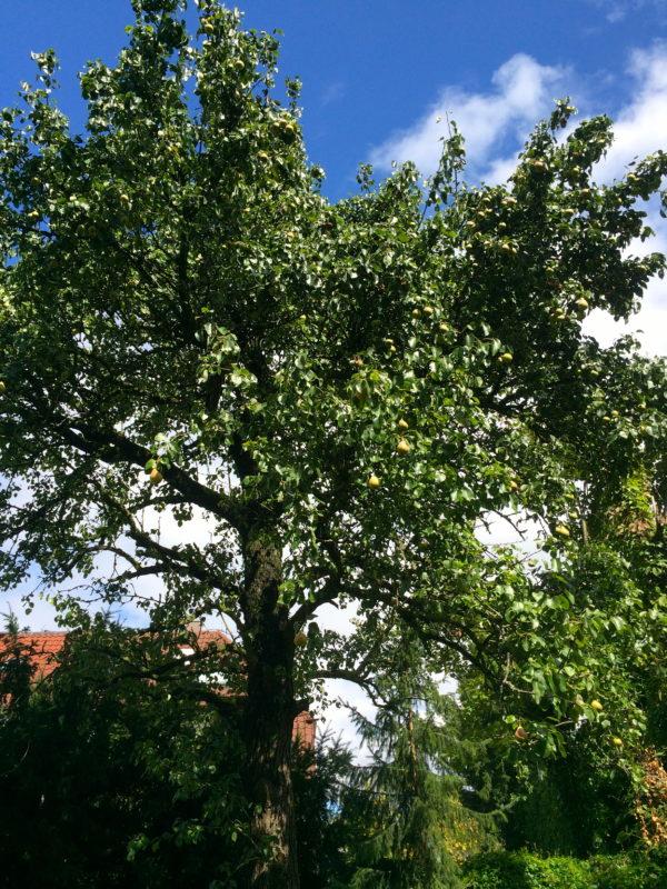 Der Birnbaum mit Stuttgarter Geisshirtle in meinem Garten. Foto © Welz