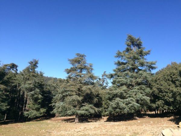 Eindrucksvoll der Zedernwald bei Ifrane - Foto © Welz
