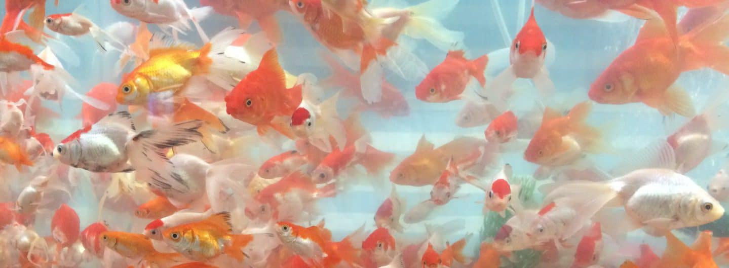 IRAN: Goldfische gehören zur Haft Seen-Festtafel an NOURUZ. Foto © Welz 2016